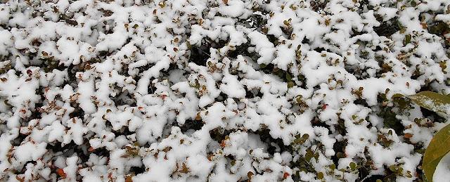 雪に覆われたユキヤナギ