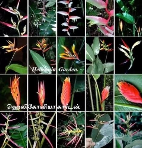 ஹெலிகோனியா கார்டன் - Different Types of Species Heliconia Garden.