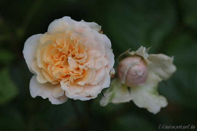 rosier Bredon david austin