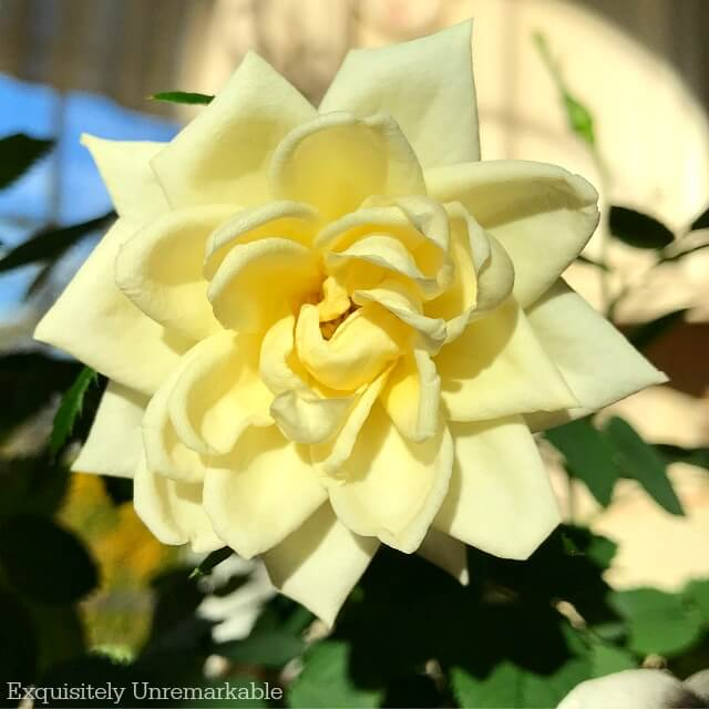 Yellow mini rose bloom