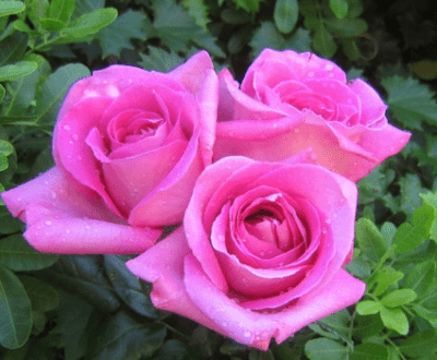 1 . Tanaman Hias Bunga Mawar