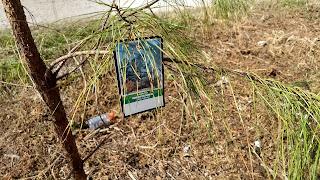 Pinus taeda (loblolly pine) tree leaves new orleans louisiana everygreen needles