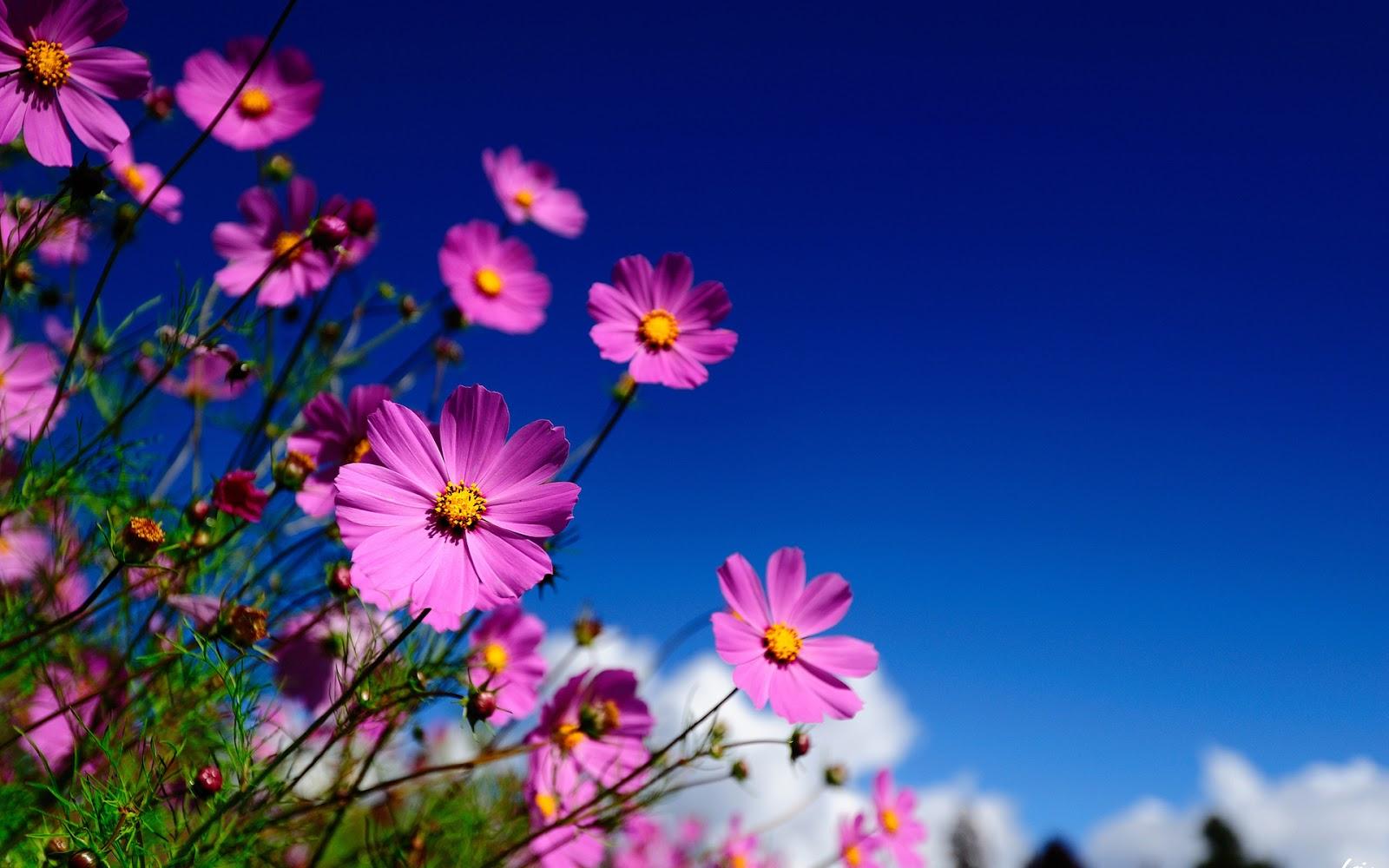 Desktop HD Wallpapers: Desktop Flowers Wallpapers HD
