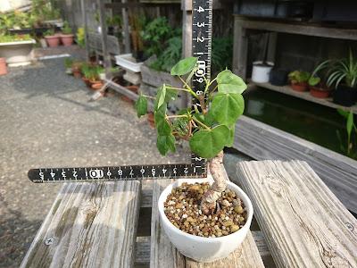 樹高10センチ