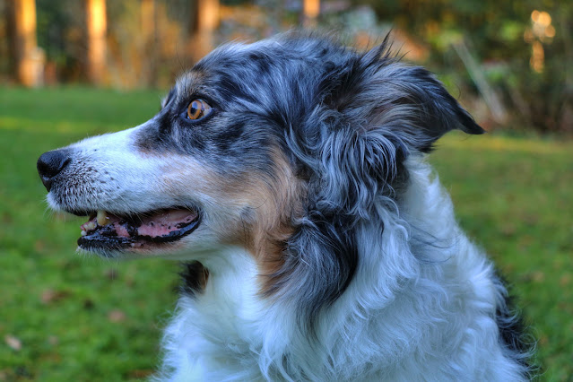 The Writer's Pet, illustrated by a portrait of Bodger the Australian Shepherd