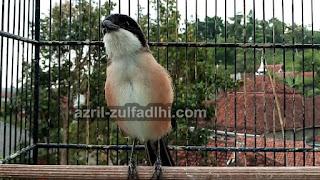 Foto Burung Cendet