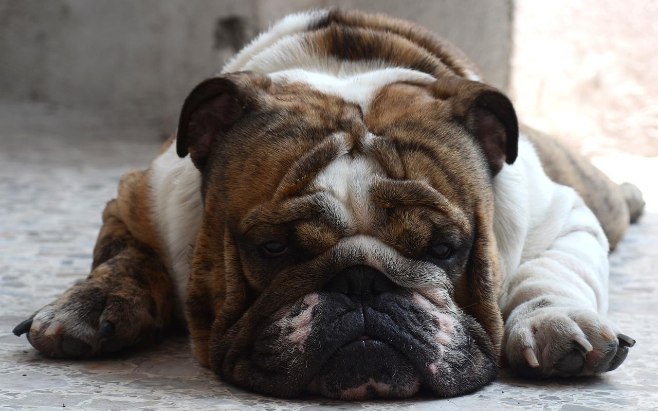 Un régime alimentaire est nécessaire pour les chiens en surpoids?