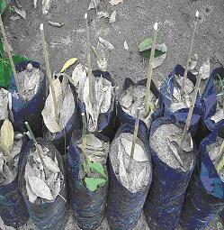 Gambar Batang bawang siap dilakukan okulasi