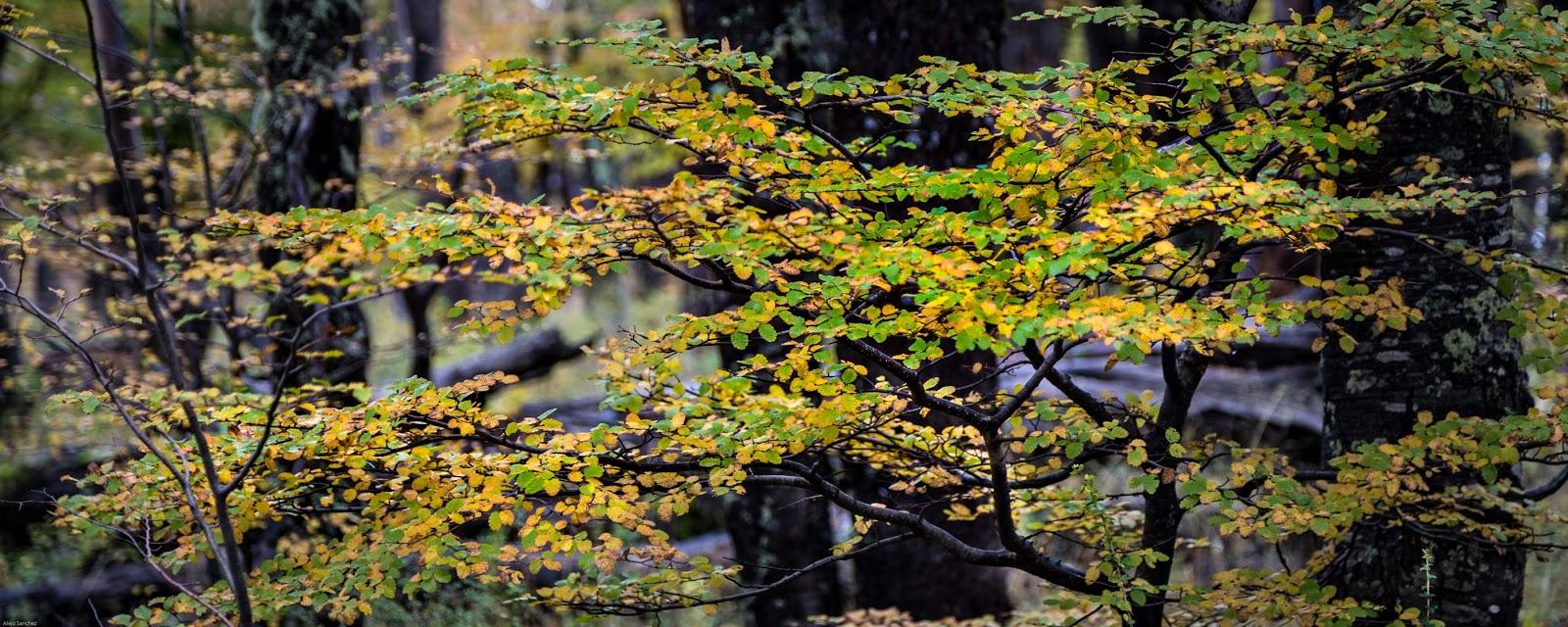 Patagonia Norte Safari Fotográfico y workshop por Alejo Sánchez, Fotografía de naturaleza, Neuquén, Parque Nacional Lanín, Photo Travel, Otoño, Bosques, Patagonia Argentina, Bosque Patagónico