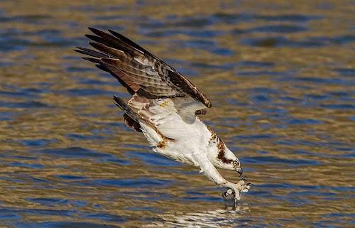 Águia-pescadora prestes a agarrar sua presa