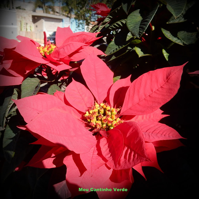 Flor de Natal