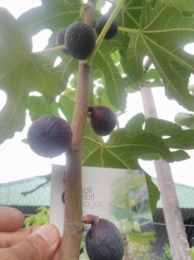 Terlaris Bibit Cangkok Pohon Buah Fig Tin Ara Jenis Negrone Super Singkawang