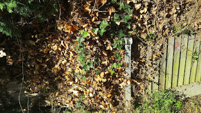 Ivy growing on a wooden fence dying back