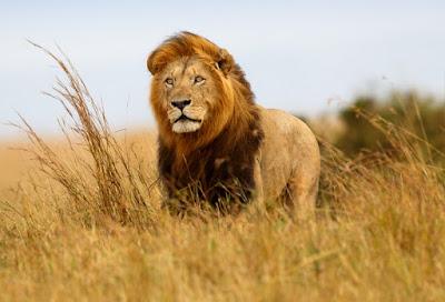 Singa merupakan salah satu jenis binatang karnivora