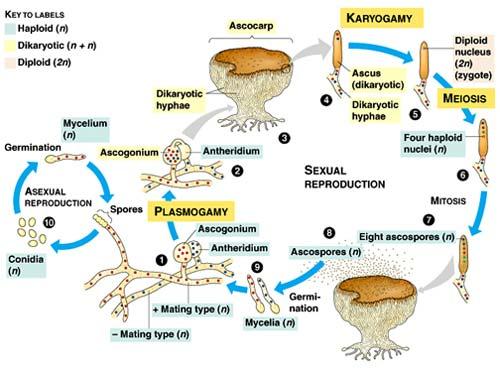 siklus hidup fungi atau jamur