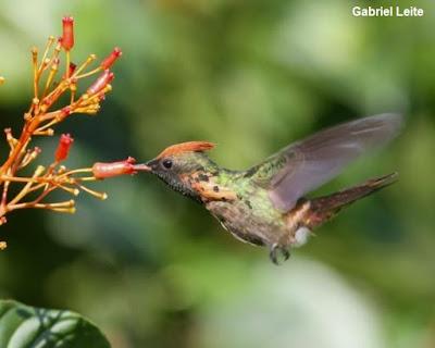 polinização, zoocoria, por que devemos preservar os pássaros, por que devemos preservar as aves, não caçar os pássaros, aves, birds, natureza, ornitologia, biologia, meio ambiente