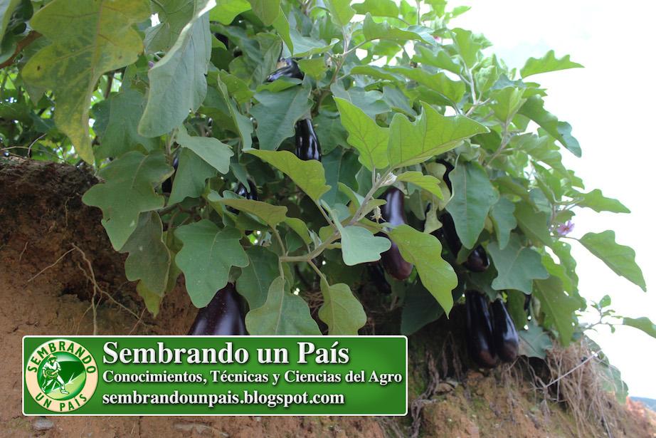 frutos de berenjena en planta