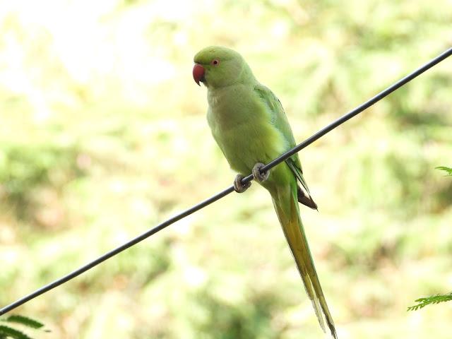 Parrot - 26