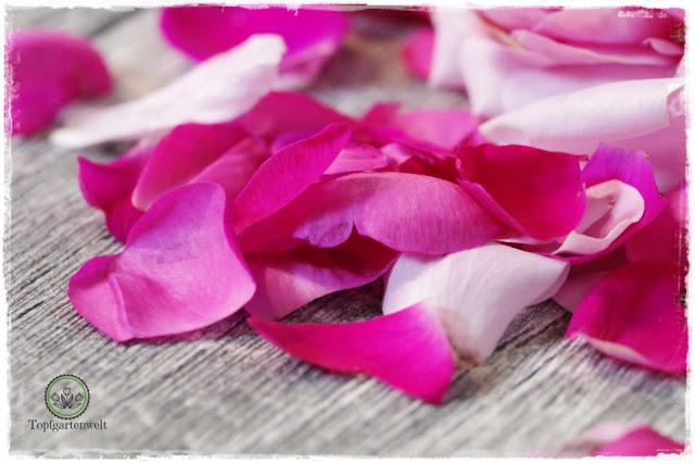 Rosenblütensirupt eine Anleitung für zu Hause - Foodblog Topfgartenwelt