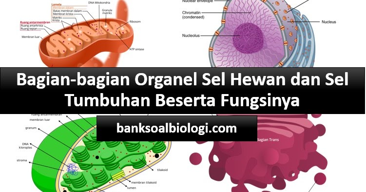 Lebih Lengkap Dan Detail Inilah Bagian Bagian Organel Sel Hewan Dan Tumbuhan Beserta Fungsinya Bank Soal Biologi
