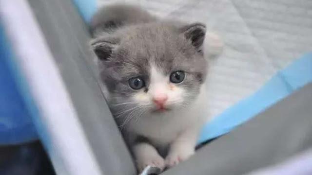 çin'in ilk klonlanmış kedi yavrusu olan garlic 2.0 ile tanışın