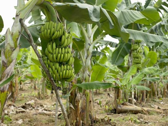 Banane in Angola