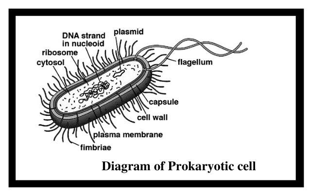 Diagram of prokaryotic cell