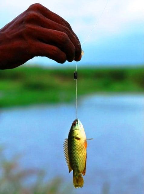 Cara mancing ikan betok