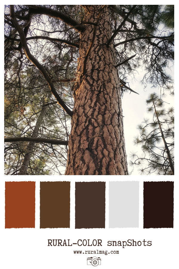 Bark of the Ponderosa Pine tree and branches from www.ruralmag.com