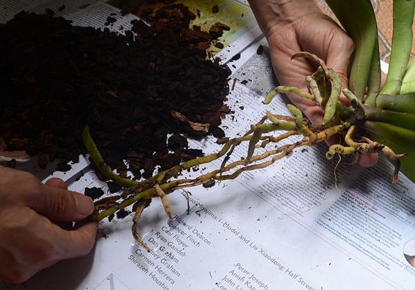 пересадка орхидей своими руками