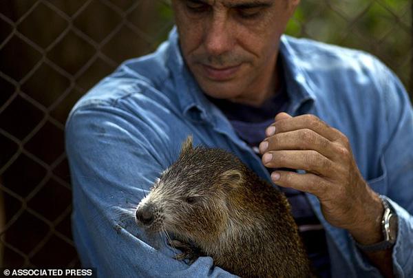 Cặp vợ chồng có thú cưng là đàn chuột hoang khổng lồ