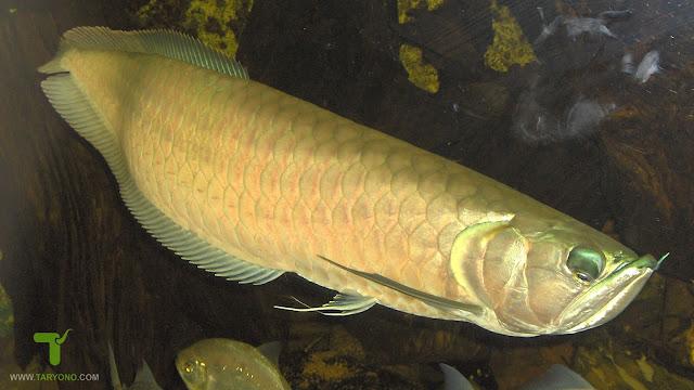 Cara Mengatasi Ikan Arwana yang Stres