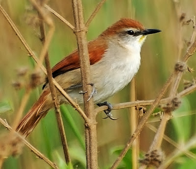 Yellow throated Spinetail