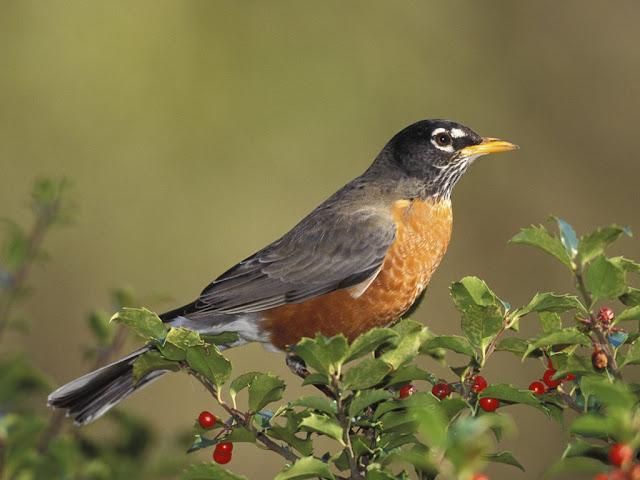 female american robin photos