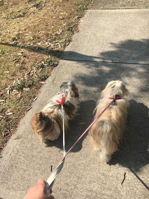 Two Fluffy Dogs being taken for a walk with a leash and harness