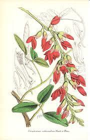 Isipó colorado Camptosema rubicundum