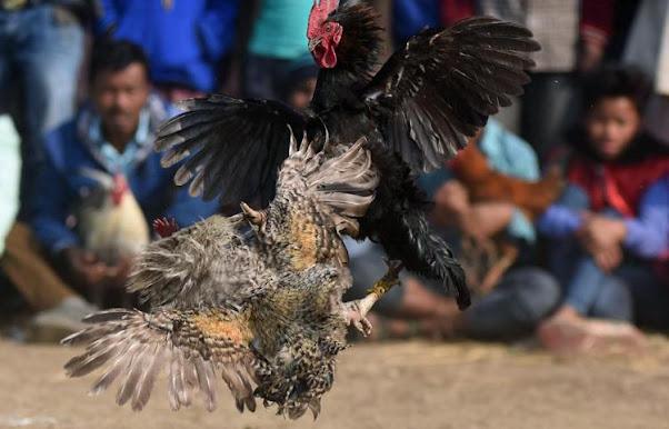 """India: un gallo da combattimento """"accoltella"""" il suo proprietario"""