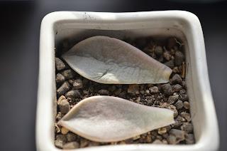 多肉植物の葉挿し