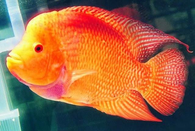 Dunia Ikan Hias - IKAN LOUHAN GOLDEN RED
