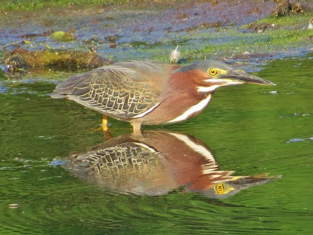 Failure Presents Opportunity Says Green Heron