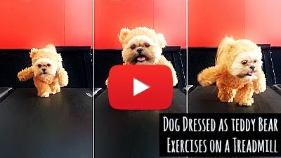 Watch a Shih Tzu breed dog named Munchkin dressed as teddy bear Ted's girlfriend exercise on a treadmill via geniushowto.blogspot.com adorable pet dog videos