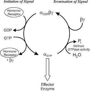 heterotrimeric G proteins