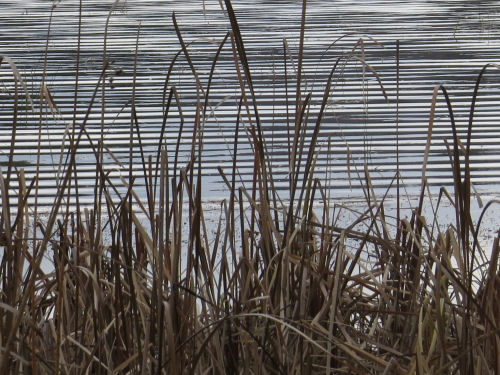 pattern of cattails and water ripples