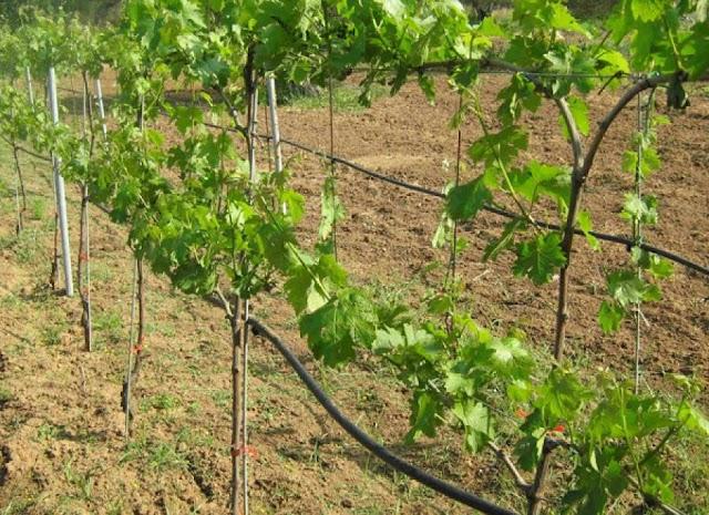 Δηλώσεις αμπελώνων για οίνο στην Τριφυλία