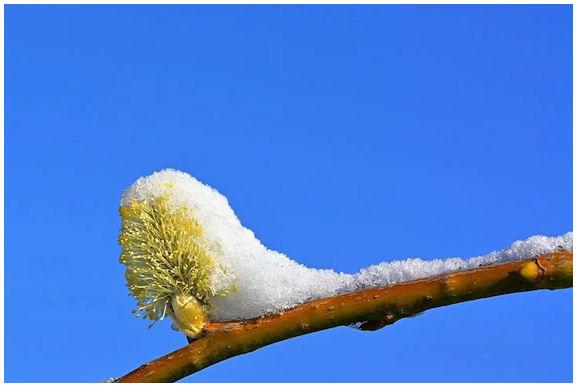 """Pajun oksa, jolla jo kukkiva """"pajunkissa"""" on peittynyt puolittain juuri sataneeseen lumeen."""