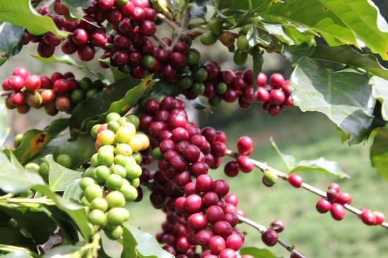Giá cà phê hôm nay 16/7: Cà phê trong nước giảm 100 đồng/kg