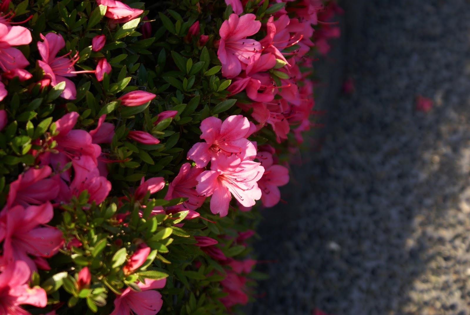 flowers asakusa senso-ji tokyo japan