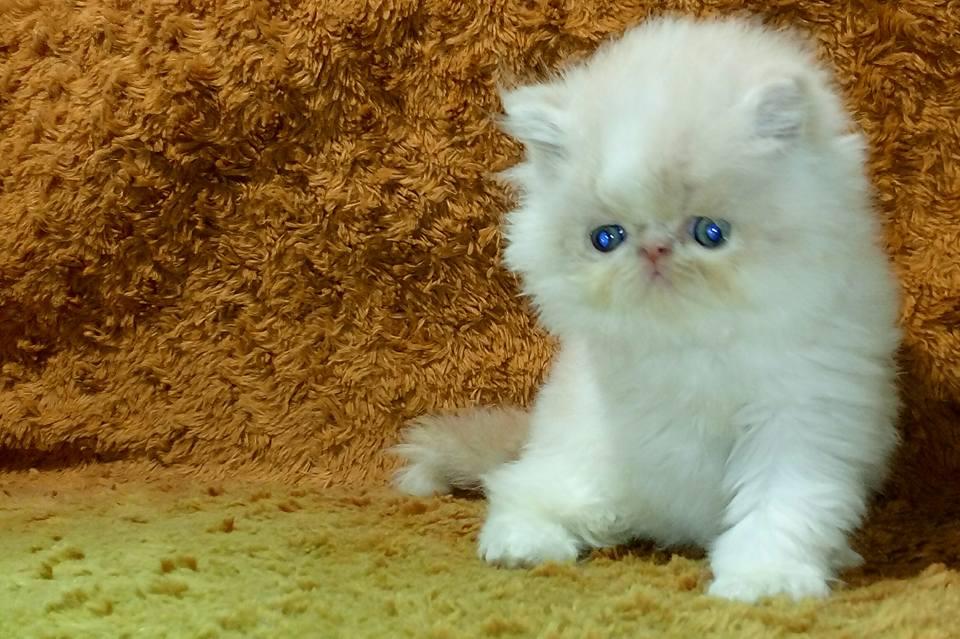 Jual Kucing Cimahi