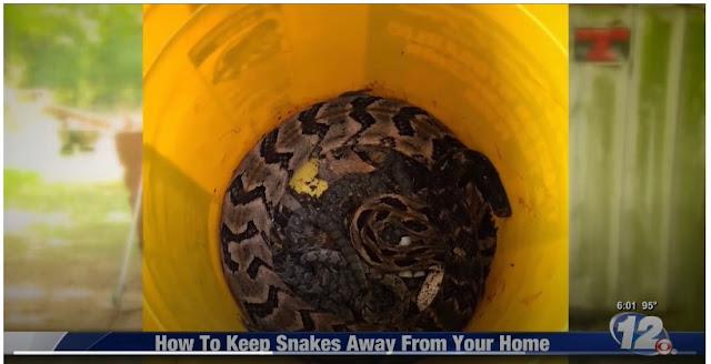 snake sightings seemingly spike