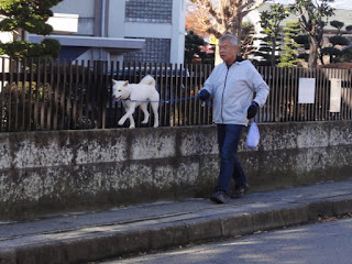 塀の上を楽しそうに散歩する白柴チロ